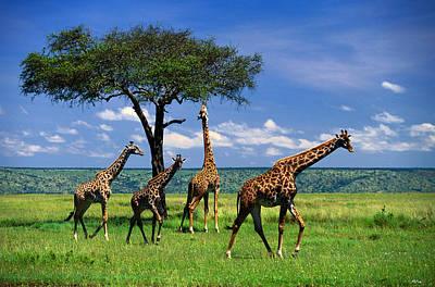 Photograph - Masai Giraffe Herd Giraffa by Art Wolfe