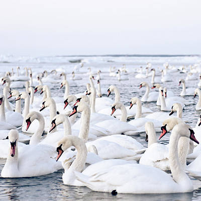 Birds In Winter Wall Art - Photograph - Massive Amount Of Swans In Winter by Mait Juriado Photo