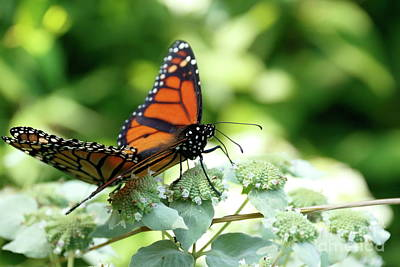 Photograph - Mating Monarchs by P W