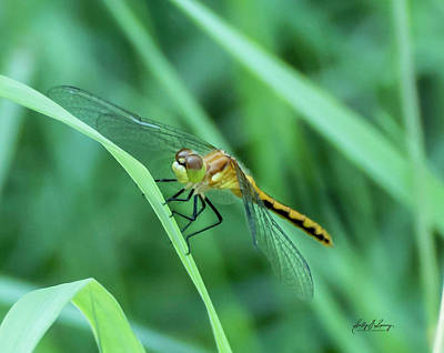 Photograph - Meadowhawk by Sally Sperry