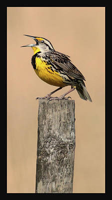 Photograph - Meadowlark Trilogy 1 by HH Photography of Florida