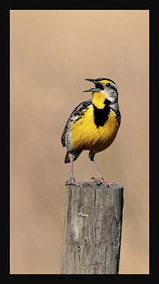 Photograph - Meadowlark Trilogy 3 by HH Photography of Florida