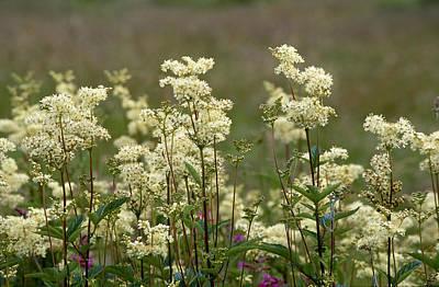Photograph - Meadowsweet, Filipendula Ulmaria by Iain Sarjeant
