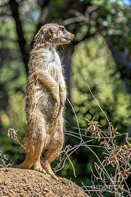 Photograph - Meerkat Alert by Kate Brown