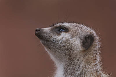 Photograph - Meerkat  by Brian Cross