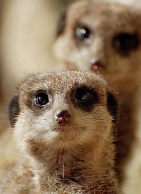 Meerkat Wall Art - Photograph - Meerkats by Kevin Button