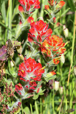 Photograph - Mendocino Coast Paintbrush  by Kathleen Bishop
