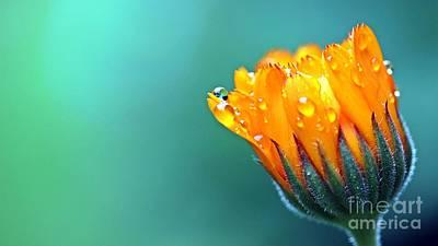 Landscapes Kadek Susanto - Merrigold Flower Macro Close Up by Hi Res