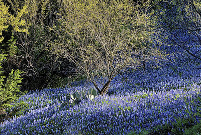 Photograph - Mesquite And Bluebonnet by JC Findley