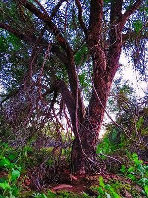 Photograph - Mesquite By The Wash by Judy Kennedy