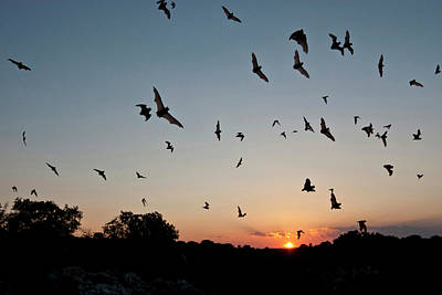 Flying Photograph - Mexican Free-tailed Bats Tadarida by Danita Delimont