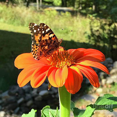 Photograph - Mexican Sunflower 10 by Amy E Fraser
