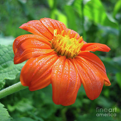Photograph - Mexican Sunflower 11 by Amy E Fraser