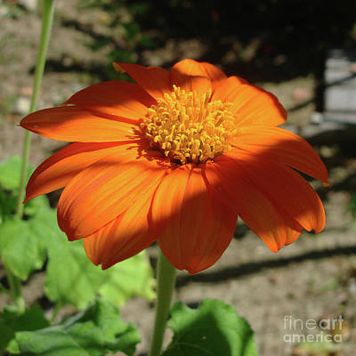 Photograph - Mexican Sunflower 13 by Amy E Fraser