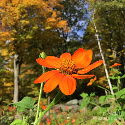 Photograph - Mexican Sunflower 14 by Amy E Fraser
