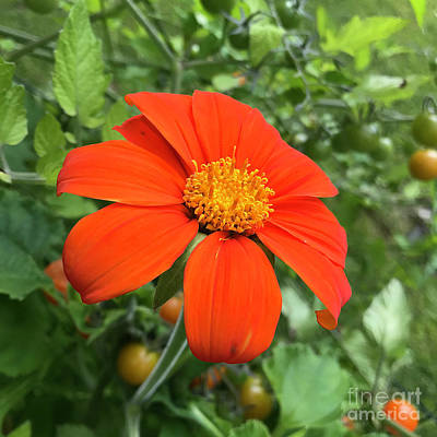 Photograph - Mexican Sunflower 18 by Amy E Fraser