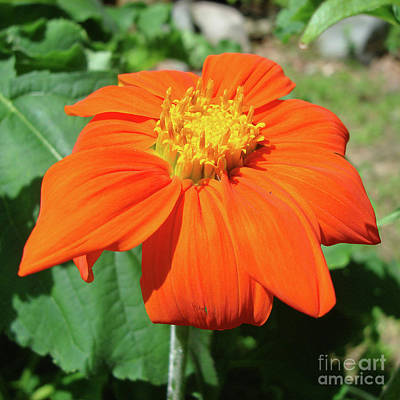 Photograph - Mexican Sunflower 19 by Amy E Fraser