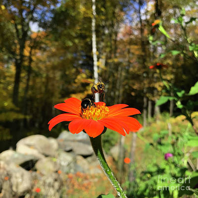 Photograph - Mexican Sunflower 2 by Amy E Fraser