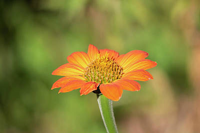 Photograph - Mexican Sunflower 2018-1 by Thomas Young