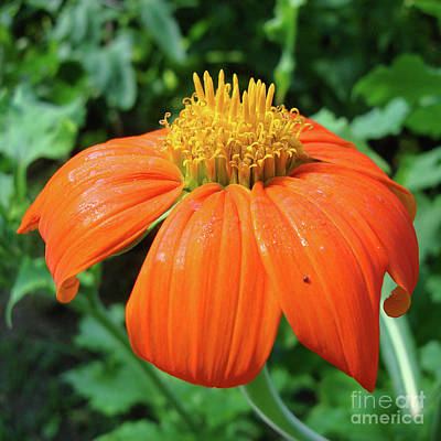 Photograph - Mexican Sunflower 21 by Amy E Fraser