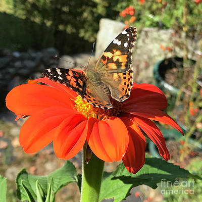 Photograph - Mexican Sunflower 24 by Amy E Fraser
