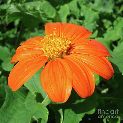 Photograph - Mexican Sunflower 25 by Amy E Fraser