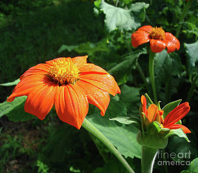 Photograph - Mexican Sunflower 26 by Amy E Fraser