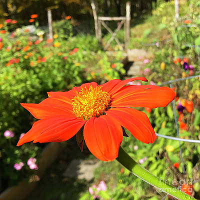 Photograph - Mexican Sunflower 4 by Amy E Fraser