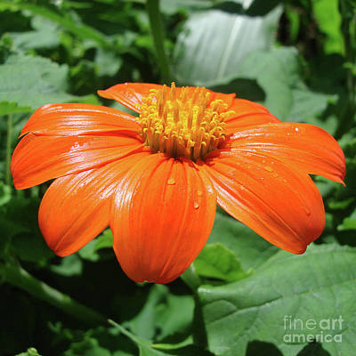 Photograph - Mexican Sunflower 5 by Amy E Fraser