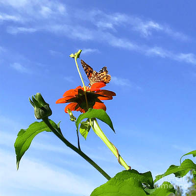 Photograph - Mexican Sunflower 6 by Amy E Fraser
