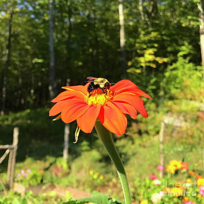 Photograph - Mexican Sunflower 8 by Amy E Fraser