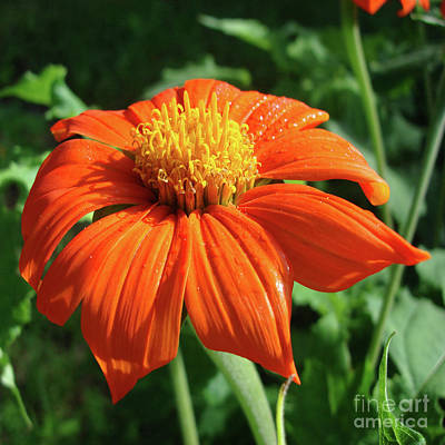 Photograph - Mexican Sunflower 9 by Amy E Fraser
