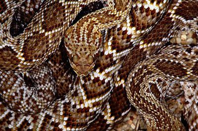 Photograph - Mexican West Coast Rattlesnakecrotalus by Art Wolfe
