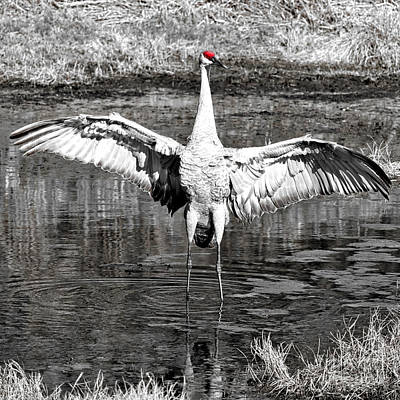 Photograph - Mighty Sandhill Crane Wings With Selective Red by Carol Groenen