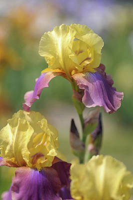 Photograph - Milestone 1. The Beauty Of Irises by Jenny Rainbow
