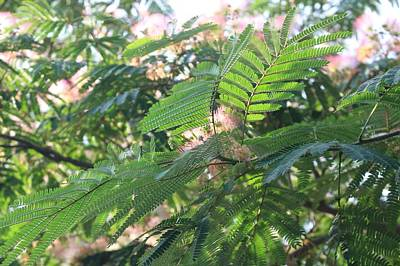 Photograph - Mimosa Tree Blooms And Fronds by Christopher Lotito