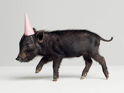 Photograph - Miniature Piglet Wearing Party Hat by Roger Wright