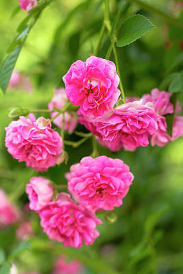 Photograph - Miniature Pink Roses by Dawn Cavalieri