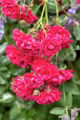 Photograph - Miniature Red Roses by Dawn Cavalieri