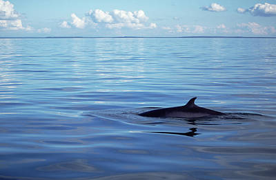 Photograph - Minke Whale Balaenoptera Acutorostrata by Flip  Nicklin/ Minden Pictures