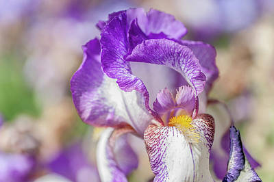 Photograph - Minnie Colquitt Macro. The Beauty Of Irises by Jenny Rainbow