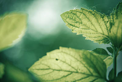 Photograph - Mint Leaves by Jeanette Fellows
