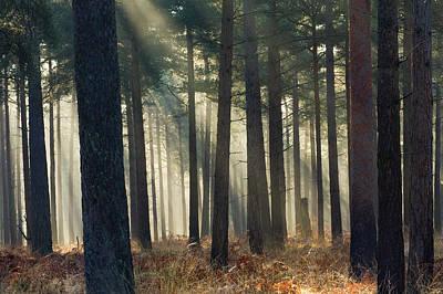 Photograph - Mist In A Pine Wood, New Forest by Adam Burton / Robertharding