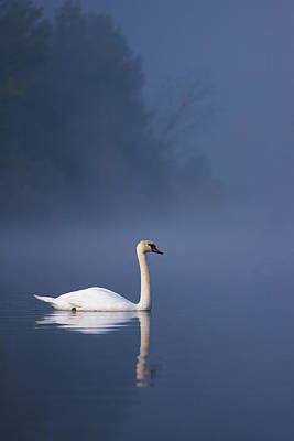 Photograph - Misty River Swan 2 by Davor Zerjav