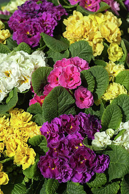 Photograph - Mix Of Colorful Double Primroses 1 by Jenny Rainbow
