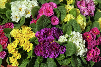 Photograph - Mix Of Colorful Double Primroses by Jenny Rainbow