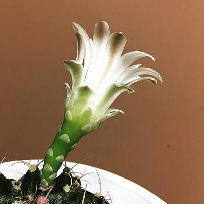 Pittsburgh According To Ron Magnes - Mocha Tipped Cactus Bloom by Michele Levenson
