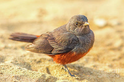 Photograph - Mocking Cliff Chat Female Bird by Benny Marty