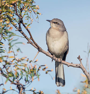 Photograph -  Mockingbird 1745-112018-1cr by Tam Ryan