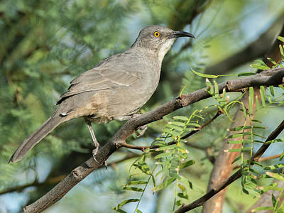 Photograph - Mockingbird 2747-090518-1cr by Tam Ryan